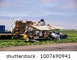 Small photo of Salinas, CA, July 29, 2010: Farm workers toil in the lettuce field to bring the harvest to market.