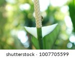 white anthurium flower pollen...   Shutterstock . vector #1007705599