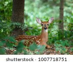a white tailed  whitetail  deer ... | Shutterstock . vector #1007718751