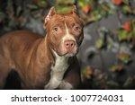 brown american pit bull terrier | Shutterstock . vector #1007724031