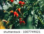 Rosehip Tree And Fruity ...