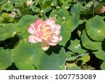 beautiful lotus and waterlily... | Shutterstock . vector #1007753089