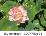 beautiful lotus and waterlily... | Shutterstock . vector #1007753635