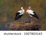 pair of white stork birds on a...   Shutterstock . vector #1007803165