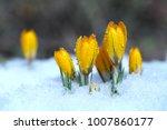 crocuses grow under snow on a... | Shutterstock . vector #1007860177