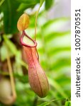 Close-Up of Tropical Pitcher Plant in Garden, Nepenthes.