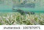 wild saltwater crocodile... | Shutterstock . vector #1007870971