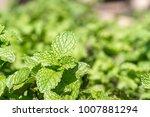 fresh peppermint plant grown in ...   Shutterstock . vector #1007881294