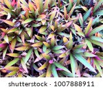violet and green leaves for... | Shutterstock . vector #1007888911