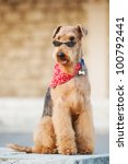 Small photo of purebred airedale terrier outdoors