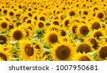 sunflower field sunflower... | Shutterstock . vector #1007950681