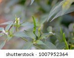 chilli peppersthis world  there ... | Shutterstock . vector #1007952364