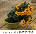 Bonsai Pyracantha Angustifolia...