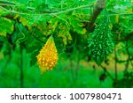 ripe and green bitter melon or... | Shutterstock . vector #1007980471