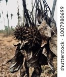 Small photo of A pair of American sweetgum balls dangle with a clump of wilted leaves