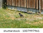 the common starling  sturnus... | Shutterstock . vector #1007997961