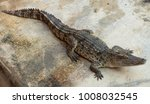 crocodile saltwater thailand | Shutterstock . vector #1008032545