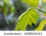 male inflorescence breadfruit... | Shutterstock . vector #1008046321