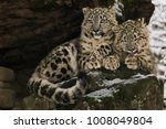 Two Snow Leopard Cubs Sitting...