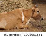 Small photo of A cow with extra leg on its back / Animal born with abnormality