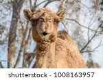 Camel  Dromedary  Camelus...