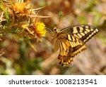 Corsican Swallotail  Papilio...