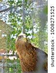 Small photo of Golden Eagle against a background of blurred dark brown leaves/Golden Eagle/Golden Eagle