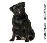 Black Pug Dog  On White...