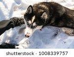 blue eyed black dog breed... | Shutterstock . vector #1008339757