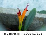 Small photo of Blooming Flame Thrower Lipstick Plant Flower (Aeschynanthus Evrardii)