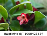 Small photo of Aeschynanthus Pulcher Close Up of Flower Surrounded By Leaves