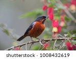 diglossa brunneiventris...   Shutterstock . vector #1008432619