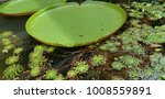 Giant Amazon Waterlilies In A...