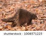 porcupine walking in the woods | Shutterstock . vector #1008571225