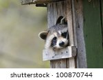 Stock photo a raccoon is sitting in a den in tree and looking 100870744