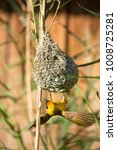 Small photo of male southern or African masked weaver masked weaver, Ploceus velatus, building a woven reed nest
