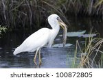 Great White Heron  A.k.a. Grea...