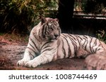 white tiger.white tiger lays in ... | Shutterstock . vector #1008744469