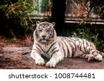 white tiger.white tiger lays in ... | Shutterstock . vector #1008744481