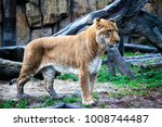 white liger for a walk in the... | Shutterstock . vector #1008744487