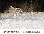 portrait of purebred west...   Shutterstock . vector #1008813661