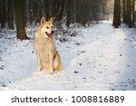 portrait of purebred west...   Shutterstock . vector #1008816889