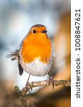 Robin Redbreast   Erithacus...