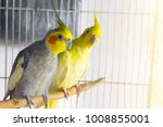 yellow and black parrots... | Shutterstock . vector #1008855001