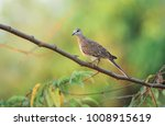 The Spotted Dove Is A Small An...