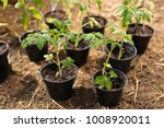 young tomato plants in pots... | Shutterstock . vector #1008920011