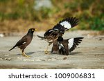 Small photo of bird Acridotheres fighting.