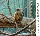 wolf's mona monkey ... | Shutterstock . vector #1009032067
