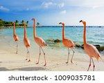 flamingo on the beach  aruba... | Shutterstock . vector #1009035781