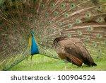 Pair Of Peacocks .